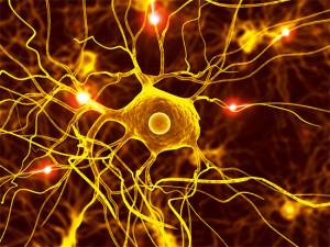 Les cellules nerveuses, comme sur cette image, ne sont qu'une petite partie de toutes les cellules de notre corps.