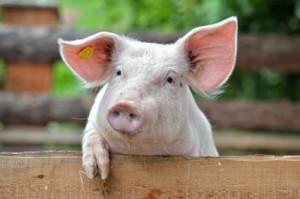 Le cochon évite les champs de rayonnement.