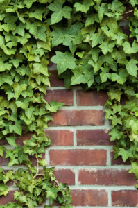 Le lierre fait partie des plantes qui recherchent les rayonnements. S'il prospère, c'est un indice de fort rayonnement terrestre